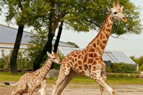 Two huge giraffes walking through chester zoo.