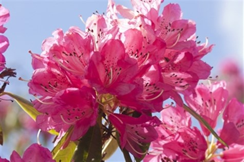 Rhododendrons In Norfolk, Stamford & Ely
