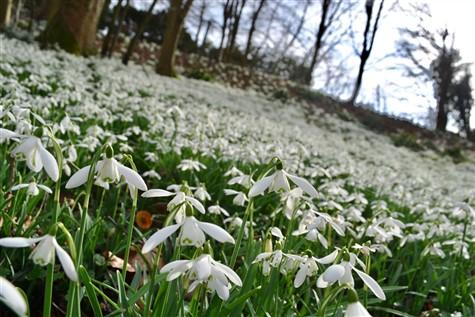 Snowdrops in Wiltshire