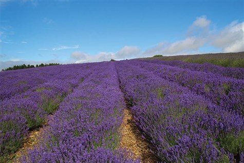 Cotswold Flowers & Lavender Farm