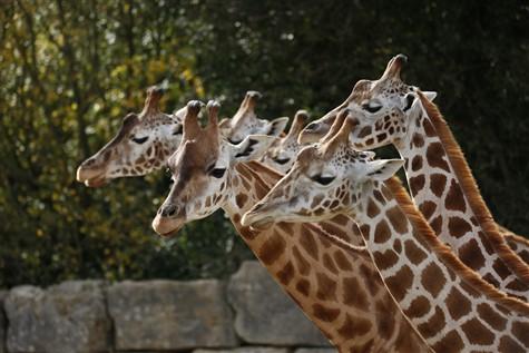 Longleat Safari