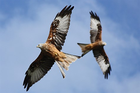 Gigrin Farm Red Kite Feeding With Ashley Grove