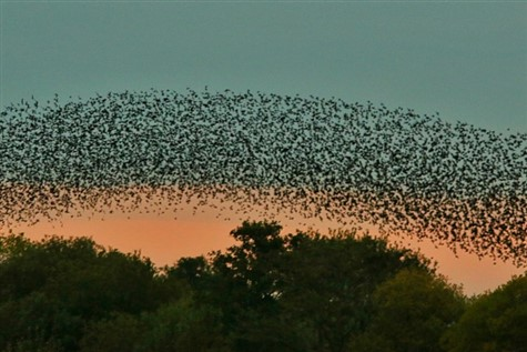Somerset Levels Murmuration with Ashley Grove